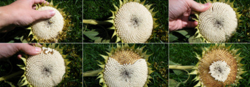 How sunflower seeds are harvested photo