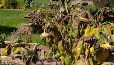 Sunflower seeds ready for harvesting image
