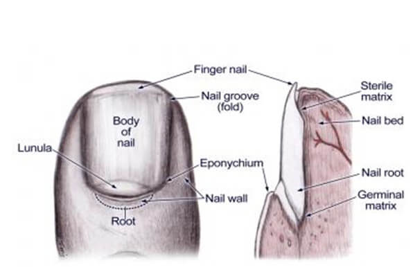 external view of the nail anatomy